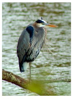 Great Blue Heron in Ontario
