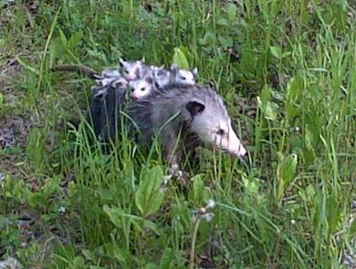 Mother Possum with young