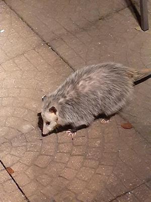 Opossum in Cambridge Ontario