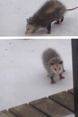 Possum in Cameron, Ontario