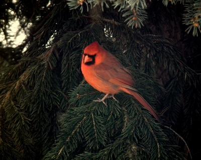 Pretty Cardinal
