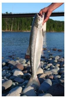 Salmon, lake Erie