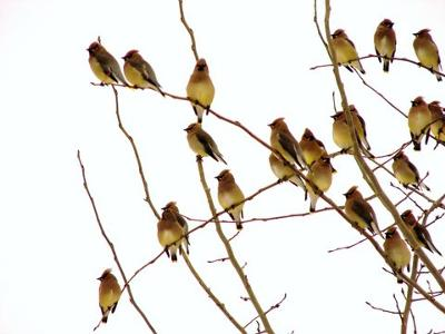 Flock of Cedar Waxwings in tree, by Marinus Pater