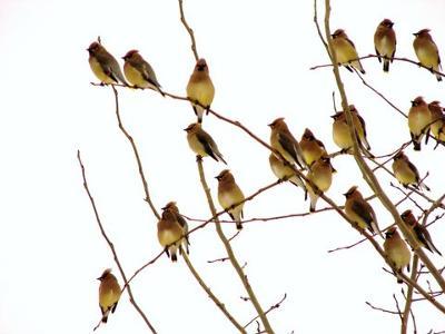Flock of Cedar Waxwings in tree, by Marinus Pater