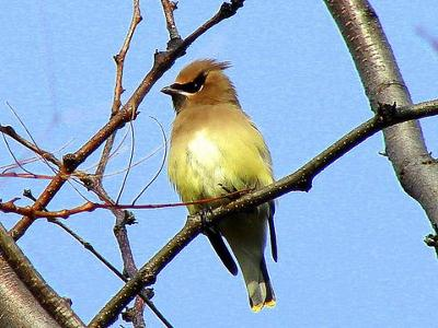 Cedar Waxwing on tree branch, by Marinus Pater