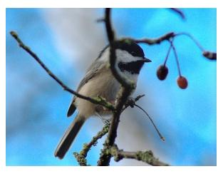 The Cheeky Chickadee on a branch with berries and blue background