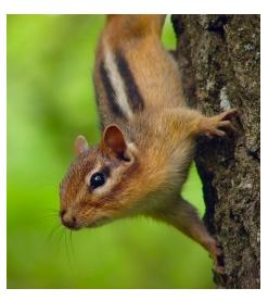 Chipmunk in Ontario on a tree