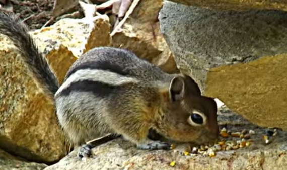Chipmunk looking for food in a rock pile, Eastern Chipmunk in Ontario