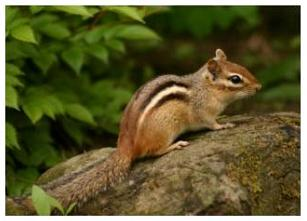 Canadian animals Chipmunk