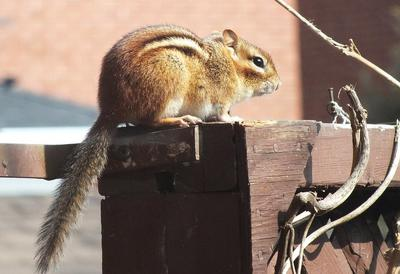 Chipmunk on a post