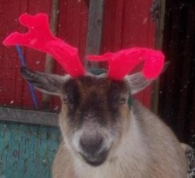 Pygmy Goat dressed as Rudolph the Red Nosed Reindeer