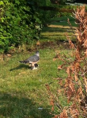 Hawk on the lawn
