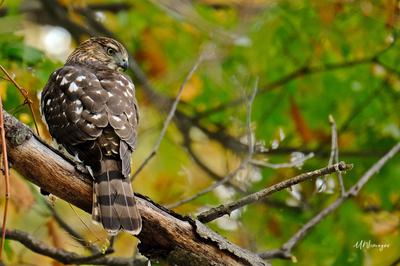 Cooper's Hawk in Burlington Ontario