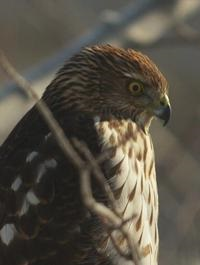 Cooper's Hawk close-up of head and breast