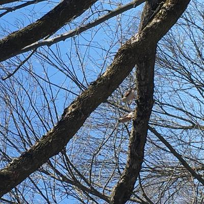 Coopers Hawks in Kitchener Ontario