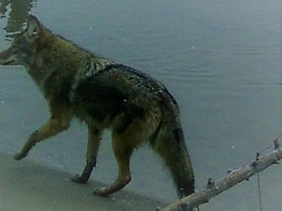 Coyote, Wolf or Dog?