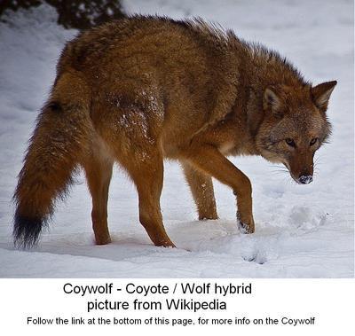 Coywolf - Coyote hybrid in Ontario