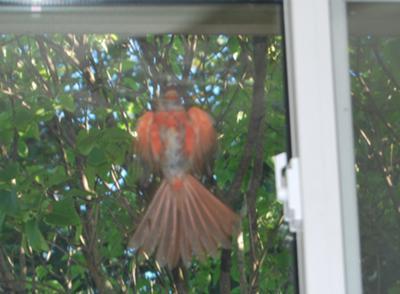 Crazy Cardinal