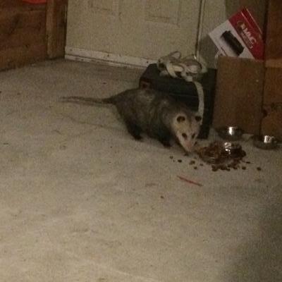 Little Buddy the Possum