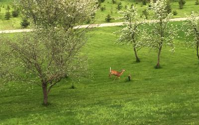 Deer in the field