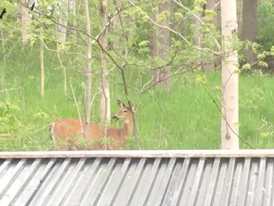 From my kitchen window - deer behind the shed