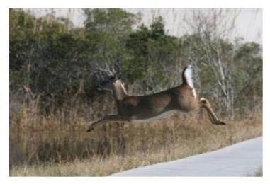 White tailed deer leaping across the road into the bush