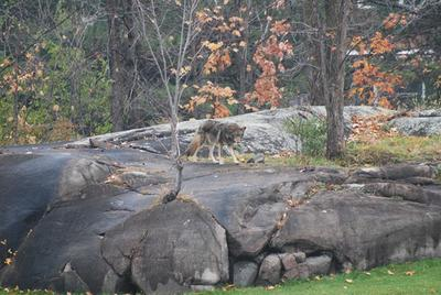 This was also taken close to the 10th tee, but our sighting was a larger, darker marked animal.