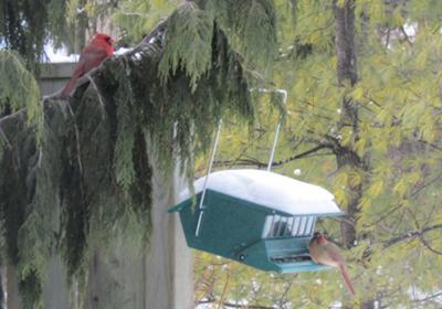 Ma & Pa Cardinal