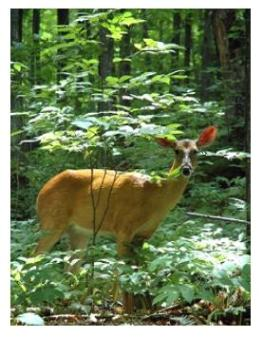 White tailed deer in the forest in Ontario
