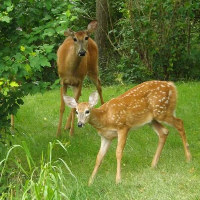 White Tailed Deer doe and her fawn, taken at Sunnybrook Farm, St Thomas, Ontario, Canada