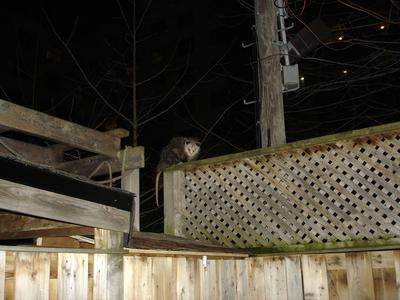 Possum on a fence