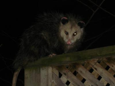 Possum close-up