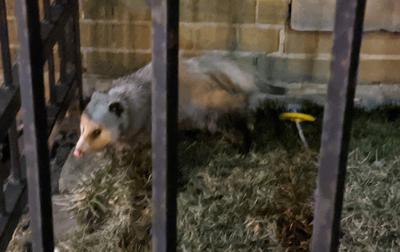 Opossum in Toronto, Ontario during winter