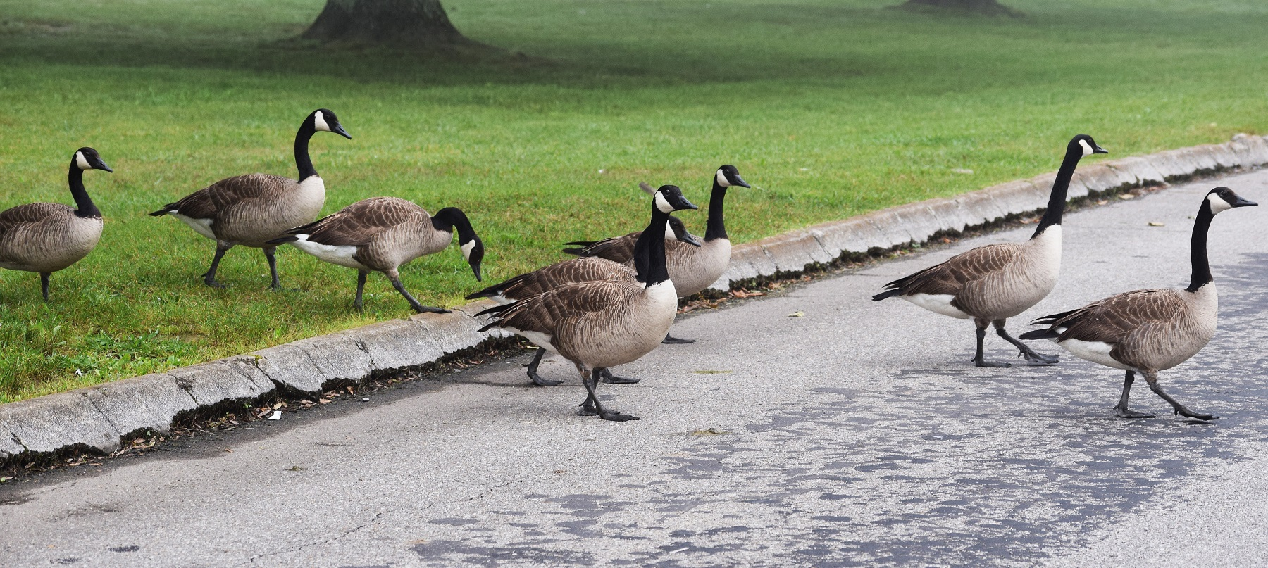 Canada Geese crossing the road