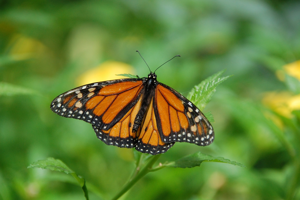 Monarch Butterfly showing lovely colours of orange and black