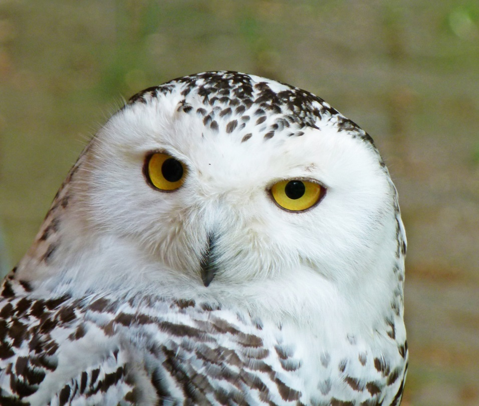 Close-up of Snowy Owl looking at camera