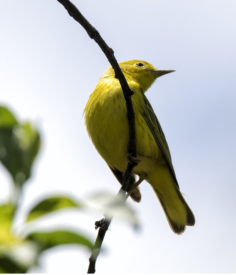 Yellow Warbler, Kingsville, Ontario