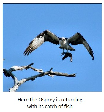 Osprey or Fish Hawk returning to the nest with fish - le balbuzard pêcheur
