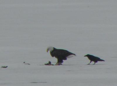 Eagle and Crow in the ice