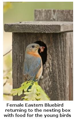 Eastern Bluebird with a Bluebird house, Ontario, Canada