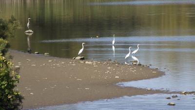Egrets and Heron near Woodstock