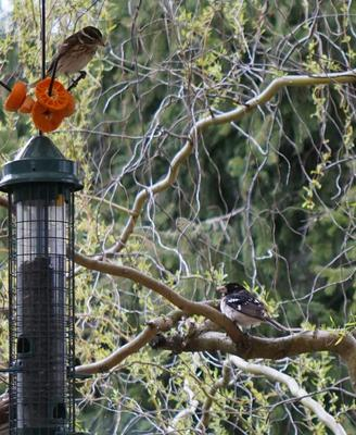 Mixed in with Grosbeaks