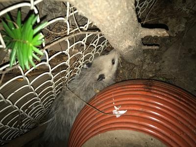 Possum in Etobicoke