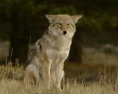 Ontario Coyote face to face