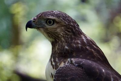 Ontario Falcons