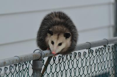 Fall Possum on a fence, Ontario, Canada