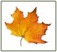 Maple leaf of Fall in Ontario