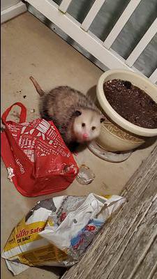 Opossum in Kitchener Ontario