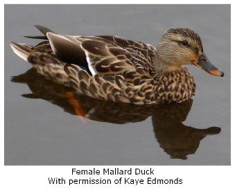 Female Mallard duck - le canard on water