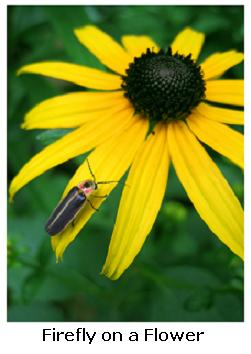 Firefly on a yellow flower